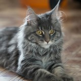 Top 20 des races de chats préférées des Français en 2018