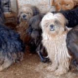 Maison de l'horreur : 85 chiens vivant au milieu de cadavres dans l'Hérault