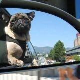 Comment éviter le mal des transports chez le chien ? (Vidéo)