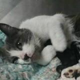 Cette chatte qui vient d'avoir une portée se moque que l'un des bébés ne soit pas un chat (Vidéo)