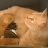 Quand une chatte adopte un adorable lapereau orphelin (Vidéo du jour)