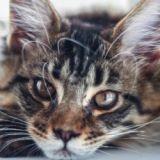Les 10 races de chat préférées des Français en photos