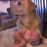 Leur chien a sauvé la vie de leur bébé avant de mourir : ils décident de le cloner pour qu'ils puissent se rencontrer (Vidéo)
