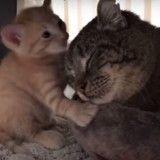 Ce vieux chat sauvage restait très méfiant après son sauvetage, jusqu'à l'arrivée de chatons orphelins