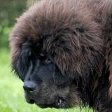 Plus à la mode en Chine, les Mastiff du Tibet connaissent un bien triste sort