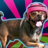Maverick, le chien qui prédit les résultats de la Coupe du monde de rugby 2015 !