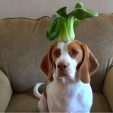 Maymo, le Beagle qui porte 100 fruits et légumes sur sa tête (Vidéo du jour)