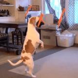 Le Beagle et les carottes volantes (Vidéo du jour)