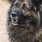 La justice condamne un chien à ne plus aboyer