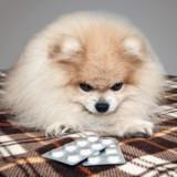 Soigner son animal avec des médicaments humains, est-ce dangereux ?