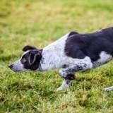 Ce chien de berger est le plus cher au monde et a été vendu plus de 20.000 $ : découvrez pourquoi !