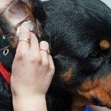Pourquoi nettoyer les oreilles de son chien ou de son chat ?