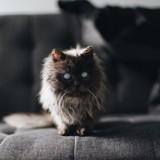 Merlin, ce magnifique chat aveugle qui fait craquer le web