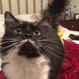 Ce chat a un miaulement trop étrange (Vidéo)