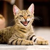 Mon chat n'arrête pas de miauler, que faire ?