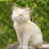 Ce Persan sans yeux, un ancien chat maltraité, lève des fonds pour des chats aux passés difficiles