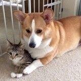 Sauvé, ce chaton est devenu le meilleur ami d'un corgi