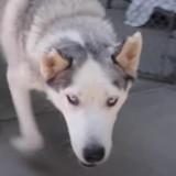 Husky errant dans les rues : le vétérinaire scanne sa puce et est effrayé par ce qu'il découvre…