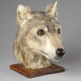 Grâce à un crâne, des chercheurs reproduisent à l'identique le chien du Néolithique