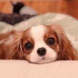 Voici le Cavalier King Charles le plus petit – et le plus adorable – du monde !