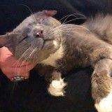 Ce chat qui avait très peu de chances de survivre redécouvre l'amour