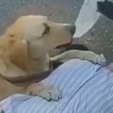 Le propriétaire non-voyant du Labrador s'est évanoui dans la rue : la réaction du chien est émouvante