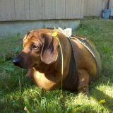 Obie, le chien obèse qui émeut le web
