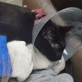 Son chat frôle la mort après avoir avalé des élastiques à cheveux