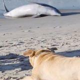 Ce chien aveugle a tout fait pour sauver un dauphin échoué sur la plage (Vidéo)