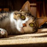 6 choses à savoir sur les oreilles des chats