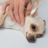 Remède de grand-mère : comment nettoyer les oreilles de mon chien naturellement ?