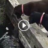 Cette loutre veut absolument jouer avec deux chiens (Vidéo du jour)