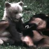 Un chien et un ourson jouent ensemble (Vidéo du jour)