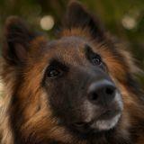 Un chien policier reçoit la médaille du courage !