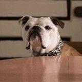 Palm Dog : Cannes a récompensé Marvin, le bulldog du film Paterson