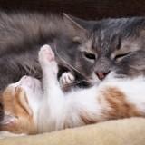 Fête des pères : les plus belles photos de chatons avec leur papa chat !