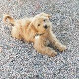 Face à une immense flaque de boue, ce petit chien perd complètement la tête (Vidéo)