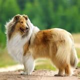 Les perles du véto : avez-vous déjà vu un Lassie ?