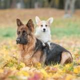 Les petits chiens sont-ils moins intelligents que les grands ?