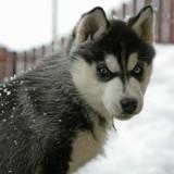 Les perles du véto : avez-vous déjà vu un Husky phobique de la neige ?
