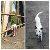 Les photos de l'époustouflante et merveilleuse transformation d'une chienne errante au destin bouleversé...