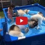 Cette petite fille partage sa piscine avec ses amis Husky (Vidéo du jour)