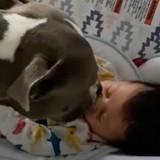 La Pitbull s'approche du couffin du nouveau-né : la maman se met à pleurer à chaudes larmes (Vidéo)