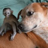 Ce Pitbull sauvé de l'euthanasie fait le tour du monde pour aider d'autres animaux