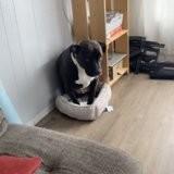 Quand un chat et un Pitbull dorment dans la même pièce, rien ne se passe comme prévu (vidéo)