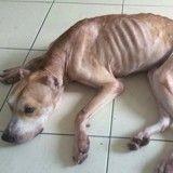 Avant/Après : Affamé par un vétérinaire, ce chien croque désormais la vie à pleines dents !