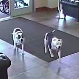Les gens voient deux Pitbulls entrer dans un hôpital et n'en reviennent pas de ce qui se passe ensuite (Vidéo)