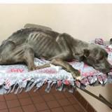 Il sauve un Pitbull qui ne pèse que 5 kilos, quelques semaines plus tard il éclate en sanglot en le revoyant