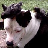 Attention, vous allez être choqué : un terrible pitbull s'en prend à des oisillons (Vidéo du jour)