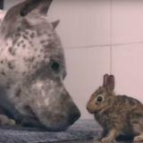 Le pitbull, ce chien sanguinaire et sans cœur (Vidéo du jour)